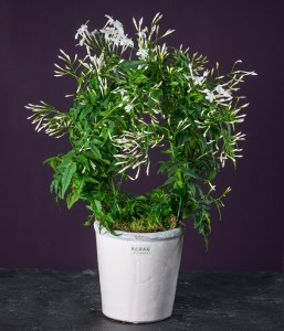 exotic_jasmine_plant