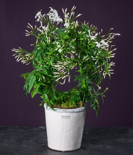 Exotic Fragrant Jasmine Plant