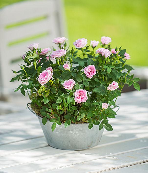 Rose Jardinière