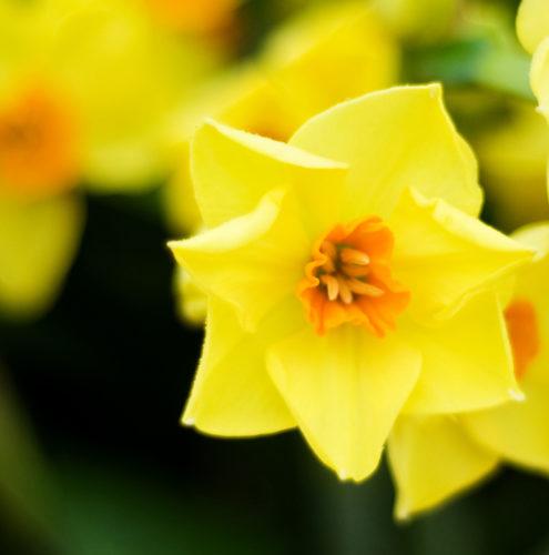 "<img alt=""British grown narcissi flower"">"