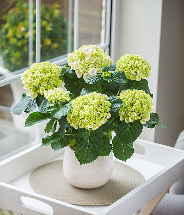 Potted Hydrangea